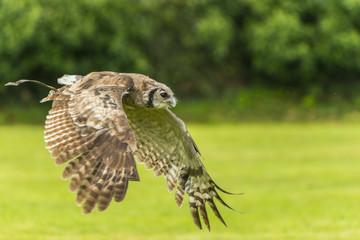 Hibou Grand-Duc - Spectacle de fauconnerie