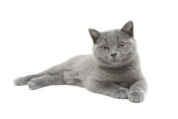 gray kitten (age 3.5 months) isolated on white background