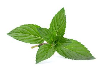 Peppermint closeup leaf