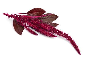 Amaranthus isolated.
