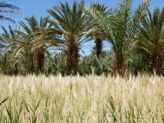 Cultures de blé au Maroc