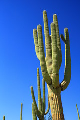Cactus giganteschi in Arizona
