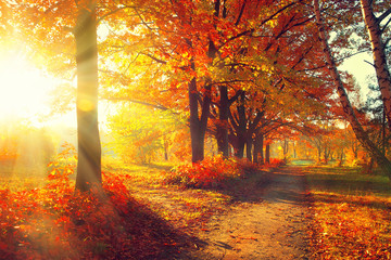 Canvas Prints Cuban Red Fall. Autumn Park. Autumnal Trees and Leaves in sun rays
