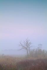 dry tree in dense fog at sunrise
