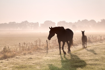 Wall Mural - horse and foal silhouettes in fog