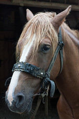 Portrait of chestnut horse