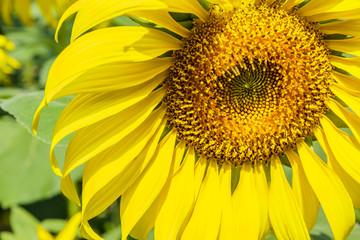 sunflowers in the garden.