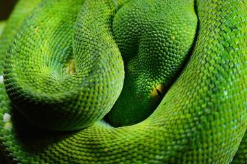 green tree python Morelia viridis