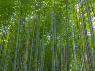 Kyoto Bamboo grove,Japan
