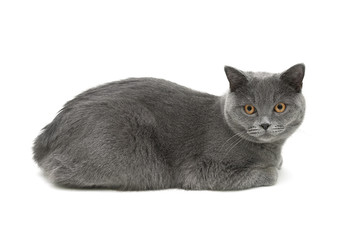 gray cat (age 10.0 months) lying on a white background