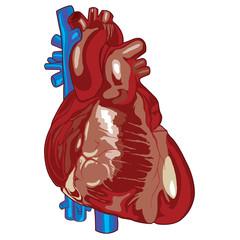 Human Heart 01