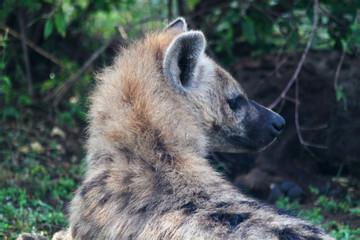Hyena Head - Safari Kenya