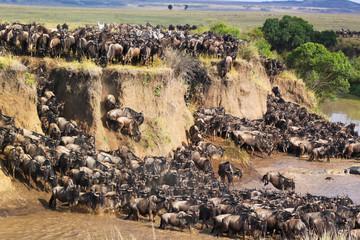 Gnu Crossing a River - Safari Kenya