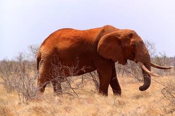 Big Elephant - Safari Kenya