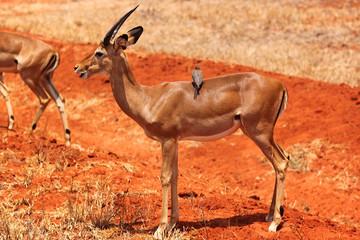 Gazelle Male - Safari Kenya