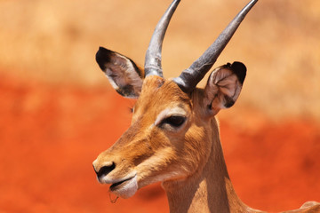 Male Gazelle Face - Safari Kenya