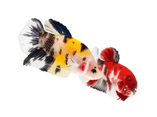 siamese fighting fish (koi style), betta isolated on white backg