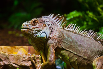 Big iguana lizard in terrarium