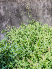 Basil with concrete wall