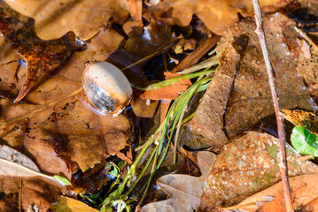 Dry acorn and oak tree leaves in a puddle during autumn