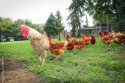 Hühnergehege geflügelhaltung hahn mit hühnern im hühnergehege stock photo and