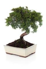 Junipeurs Chinensis bonsai
