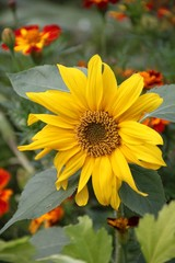 Kurzstielige Sonneblume blüht zwischen Targetes