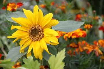 Kurzstielige Sonnenblume zwischen Targetes