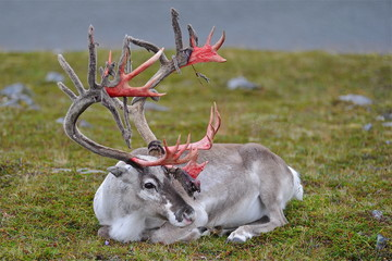 REINDEER MOULT HORNS