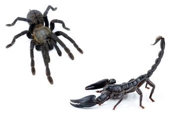tarantula fo scorpion on white background