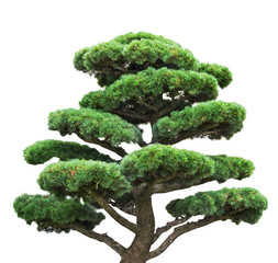 bonsai green pine isolated on white tree