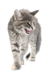 angry maine coon kitten