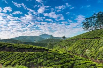 Wall Mural - Tea plantations.Kerala.India