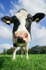 Kuh auf Kuhweide blickt neugierig, Nahaufnahme
