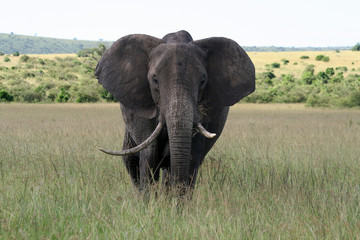 Big elephant in a national reserve