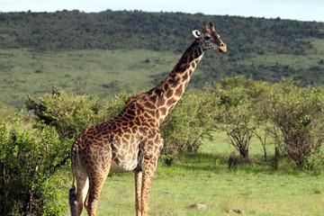 Giraffe looking around