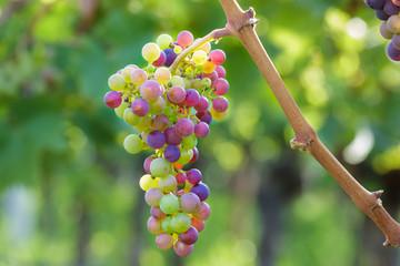 Farbenfrohe Weintrauben