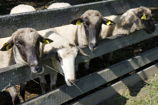 The sheeps in pens at the farm