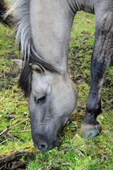 Dziki koń - Tarpan 13