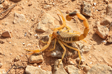 Yellow scorpion