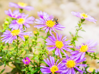 Wet bee on autumn asters