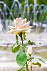 Rose on the background of the fountain
