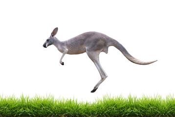 Photo sur Toile Kangaroo grey kangaroo jump on green grass isolated