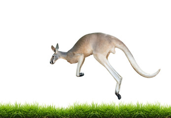 red kangaroo jump on green grass isolated
