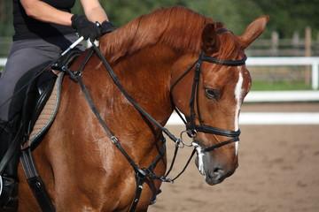 Chestnut sport horse portrait in summer