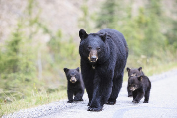 Kanada, Rocky Mountains, Alberta. Jasper Nationalpark, Amerikanischer Schwarzbär (Ursus americanus) mit Bärenjungen zu Fuß auf einer Straße