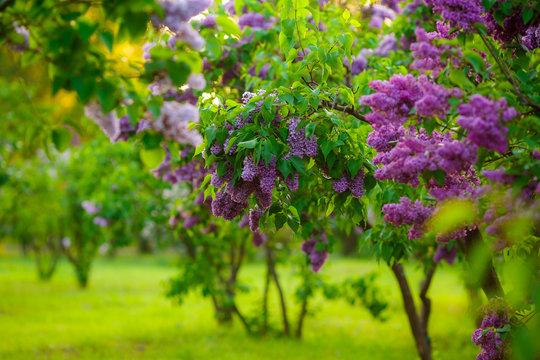 lilac bushes. flowers close up