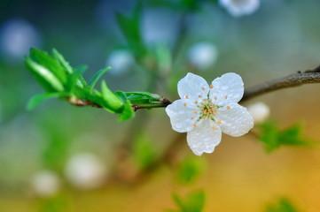 Flowering tree in dew