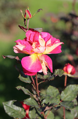 photo beautiful pink rose