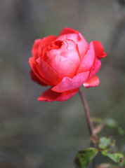 photo beautiful red rose